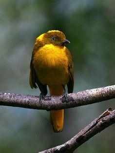 Golden Bowerbird (Amblyornis newtonianus)