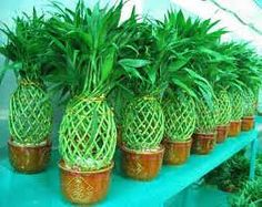 Chinese New Year Lucky Bamboo In Pineapple Shape Image In Chinese New Year Decorations, Plants And Flowers Part 1 Chinese New Year Decorations, New Years Decorations, Pineapple Palm, Pineapple Clothes, Dixon Homes, Lucky Bamboo, Plants Are Friends, Tropical Decor, Indoor Plants