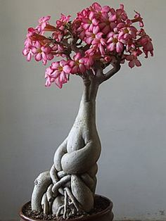 A Bonsai of Adenium in bloom. Like the bonsai, my life has taken many paths, but my roots are strong and I will flourish once again. Ikebana, Plantas Bonsai, Bonsai Plants, Bonsai Garden, Bonsai Trees, Garden Care, Miniature Trees, Cactus Y Suculentas, Arte Floral