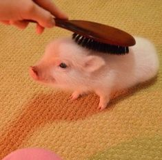 Brush the piggy