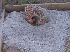 Using wood ashes for your chickens saves money. (fireplace ash only, not BBQ coals, etc) and when needed, mix 2 parts ash to 1 part sand for the chickens to do their dust bathing. It keeps mites away. That and paint the coop with hydrated lime. Chicken Lady, Chicken Runs, Keeping Chickens, Raising Chickens, Backyard Farming, Chickens Backyard, Mini Farm, Pet Chickens, Urban Chickens