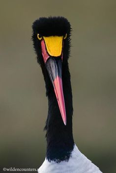 SaddleBilled Stork female