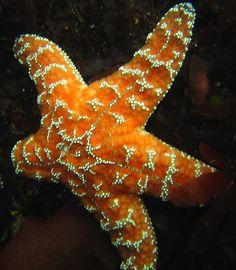 Ochre Star (Pisaster ochraceus)