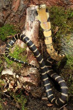 juvenile king cobra