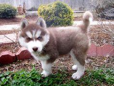 siberian husky puppies - Google keresés