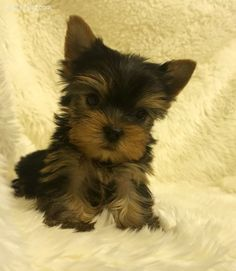 Yorkshire Terrier Pictures (wu5x693g36d) #yorkshireterrier