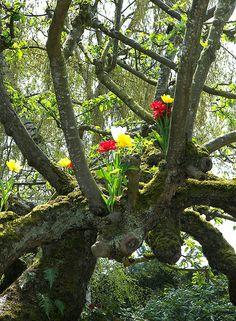 Tulips in Trees, Mt Vernon, Washington