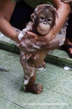 This is a baby orangutan getting a bath. Look at his belly. I am in love.