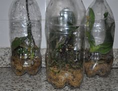 Na UTI de garrafa PET, as chances de recuperar uma orquídea são grandes. Na UTI as plantas recebem a umidade necessária para o bom desenvolvimento e por não ficarem encharcadas, conseguem se recuperar em um tempo relativamente rápido.