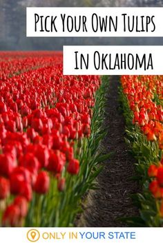 If you're a DIY type who loves flowers and is looking for a fun, family-friendly day trip in Oklahoma, Tucker's Tulips has you covered. Don't miss out on this beautiful farm. #flowerfarm #springtime Different Flowers, Love Flowers, Tulip Season, Spring Break Vacations, Flower Farmer, Beautiful Farm, Spring Nature, Day Trips, Spring Time