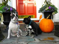 Otto & Dudley, French Bulldogs