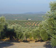 Campo de olivos en Jaén. Sierra Mágina