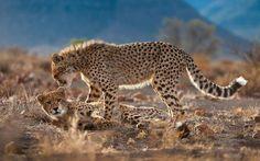 Geparden im Samara Private Game Reserve in der Großen Karoo in Südafrika