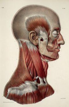 Vintage Medical Human Head Neck Muscle Anatomy Poster Re-Print Facial Anatomy, Head Anatomy, Anatomy Poses, Body Anatomy, Face Muscles Anatomy, Anatomy Sketches, Anatomy Drawing, Anatomy Art, Neck Muscle Anatomy