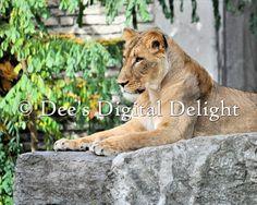8x10 Lioness 2 Female Lion Photo Print by DeesDigitalDelight, $20.00
