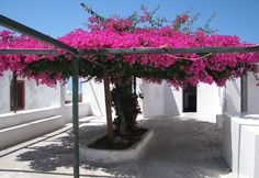 The bougainvillea tree and trellis of my dreams: Oia, Santorini, Greece I water. The bougainvillea Dream Garden, Garden Art, Garden Plants, Bougainvillea Trellis, Beautiful Gardens, Beautiful Flowers, Desert Plants, Tropical Garden, Backyard Landscaping