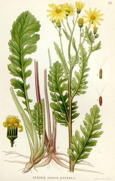 Botanical Drawings - Ragwort (Jacobaea vulgaris)