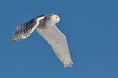 Harfang des neiges - Snowy Owl - Búho Nival - Gufo delle nevi - Schneeeule ( Bubo scandiacus )    by Lucie Gagnon on 500px