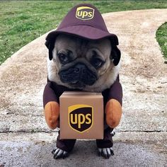 """❤️""""""""Did someone order a box of #cuteness?""""❤️ ・・・ www.jointhepugs.com ・・・ #pug #pugpower #pugsnotdrugs #puglife #puglove #mops #puglover #dogs"""