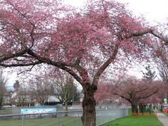 Map to see where cherry blossoms are blooming