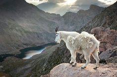 Rocky mountains Goat