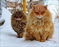 These cats are not cold in winter : pics