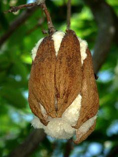 ¿Algodón en rama? (I) | Pues no, :-) Se trata del fruto del… | Flickr - Photo Sharing!