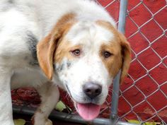 TO BE DESTROYED - 10/31/14 Manhattan Center   My name is TOM. My Animal ID # is A1018748. I am a male white and brown st bernard rgh mix. The shelter thinks I am about 3 YEARS old.  I came in the shelter as a STRAY on 10/25/2014 from NY 11106, owner surrender reason stated was STRAY.