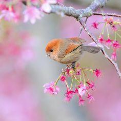 粉紅鸚嘴 Vinous-throated Parrotbill... In one of our shared dreams, we met in a Spring morning under the cherry blossoms.