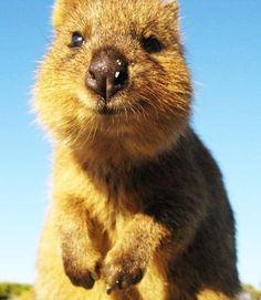 Ihr Anblick macht happy: Quokkas sind die neuen Stars im Internet und gelten als die glücklichsten Tiere der Welt.