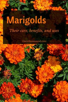 Marigolds are so functional in the garden, see why.
