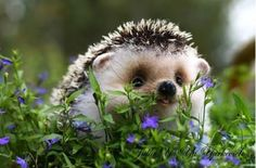 Hedgehog. That little face!!