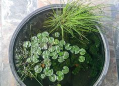 35 Gallon Kettle Pond***New pics pg 4 - Page 4 Garden Pond, Water Garden, Red Blonde, Aquariums, Kettle, Fish, Canning, Wall, Plants