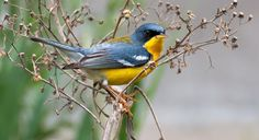 Tropical Parula, saw on the King Ranch, TX,  spring 1997.  This bird is only found in south Texas.