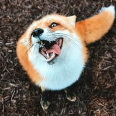 cute fox The first lesson of red fox The newborn Little Red foxes have grown up for two months, and finally it Cute Funny Animals, Cute Baby Animals, Funny Dogs, Animals And Pets, Wild Animals, Funny Fails, Smiling Animals, Beautiful Creatures, Animals Beautiful