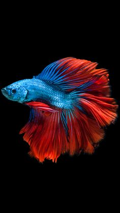 I had a Betta like this. ~ Apple iPhone Wallpaper with Red and Blue Betta Fish and Dark Background in Pretty Fish, Beautiful Fish, Animals Beautiful, Freshwater Aquarium, Aquarium Fish, Betta Fish Care, Siamese Fighting Fish, Ocean Creatures, Exotic Fish