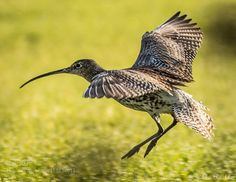 Eurasian Curlew about to land