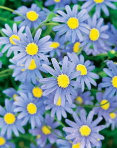 The Daisy Cape Town Blue, 'Felicia hybrid', is a new Proven Winner introduction with a true blue daisy. The Cape Town Blue is a more compact and free flowering variety. Daisy's require a sunny spot with fertile, well-drained soil and should be kept we Blue Garden, Garden Art, Garden Design, Summer Garden, Colorful Flowers, Blue Flowers, Beautiful Flowers, Wild Flowers, Blue Daisy