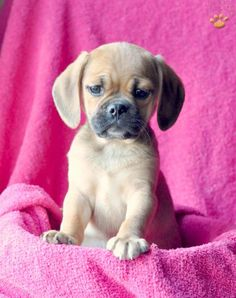 Puggles <3  MUST HAVE SOON