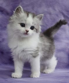 Information on Kaerik Rags RagaMuffin Kittens. This is where I'm getting my cat from. Wendy