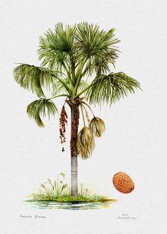 Buriti ... a mais linda palmeira do cerrado