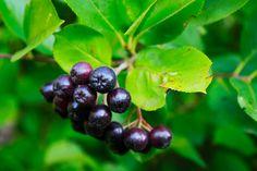 Chokeberry Trees And Shrubs, Fruit, Food, Meal, The Fruit, Essen, Hoods, Meals, Eten