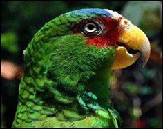 Amazona albifrons @loromania