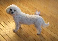 Still missing my little maltese devil dog