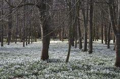 Snowdrops in March