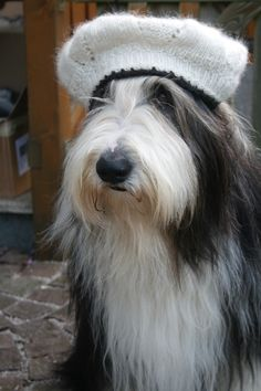 Bearded Collie Jordi