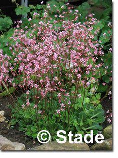 Staudenfoto zu Saxifraga x urbium 'Clarence Elliott (veg.)' (Garten-Porzellanblümchen)