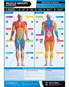 Muscle Groups & Exercises Wall Chart - A1 Laminated with on-line video training support (smart phone only): Amazon.co.uk: Sports & Outdoors
