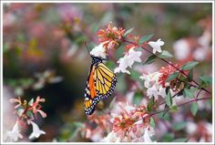 Good bye Monarchs for the year 2013! Enjoy sunny Southern California and the American southwest and Mexico!  We can't wait to see you back again in 2014.