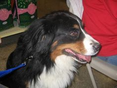 12/07/16 SL~~~Helen has been waiting for a forever home for 4 years. Petango.com - Meet Helen, 12y 2m Bernese Mountain Dog available for adoption Luv4K9s, DAYTON, OH